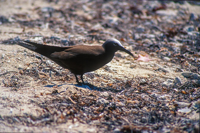 Brown Noddy nesting colony Dry Tortugas FL SLIDE SCAN BIRDS-58