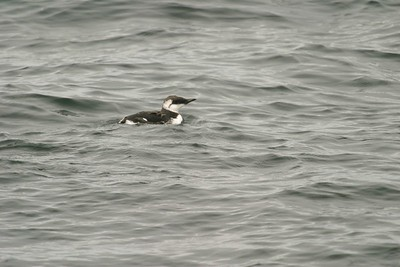 Common Murre-Monterey CA 256_5646
