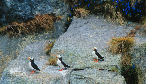 Horned Puffins Wildlife Cruise Wrangell-St  Elias N P  Alaska-023 scan-110 copy