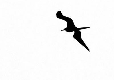 Magnificent Frigatebird Fort Myers Beach FL IMG_4354