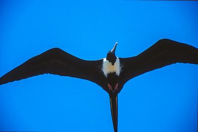 Magnificent Frigatebird Dry Tortugas FL SLIDE SCAN BIRDS-56