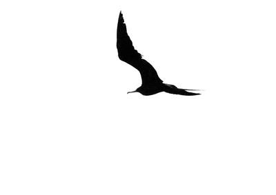 Magnificent Frigatebird Fort Myers Beach FL IMG_4352