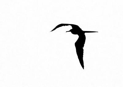 Magnificent Frigatebird Fort Myers Beach FL IMG_4353