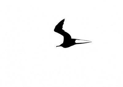 Magnificent Frigatebird Fort Myers Beach FL IMG_4351