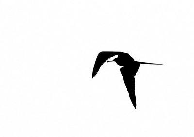 Magnificent Frigatebird Fort Myers Beach FL IMG_4350