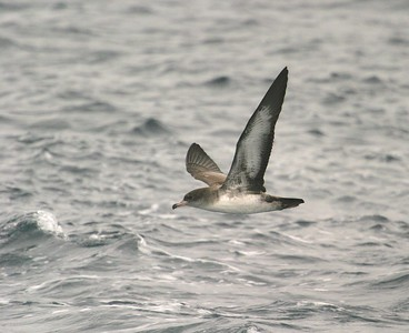 Pink-footed Shearwater Monterey CA 270_7073