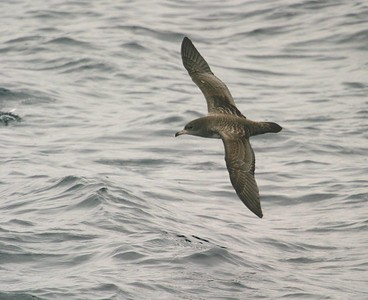 Pink-footed Shearwater Monterey CA 270_7074