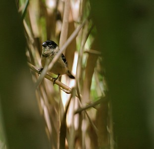 The White-collared Seedeater is a very rare visitor to the cane thickets along the Rio Grande in South Texas [April; Lower Rio Grande Valley, Texas]
