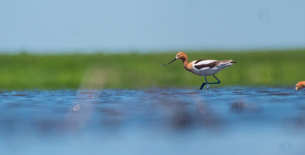 American Avocet North Ottawa Impoundment West Central MN day trip June 12 2020 P1099228