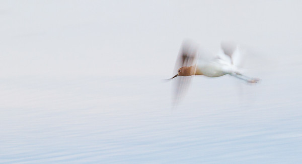 American Avocet Oak Hammock Marsh near Winnipeg Manitoba Canada-0370