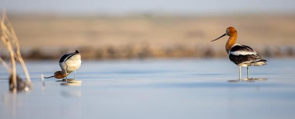 American Avocet Chase Lake NWR Stutsman County ND  IMGC8891