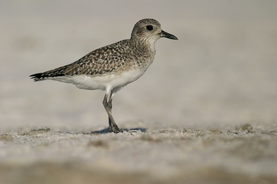 Note the whitish belly, streaked breast (not barred) and lack of a dark cap; Field marks that make this a winter-plumaged Black-bellied Plover and not an American Golden Plover [October; Estero Beach, Fort Meyers, Florida]