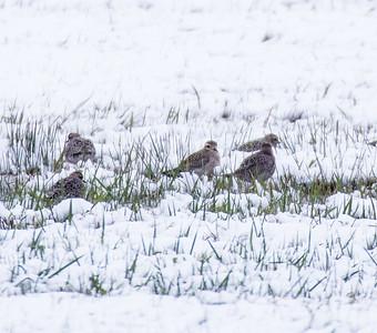 American Golden Plover flock in snow Dart Road CR229 Sax-Zim Bog MN-1033551