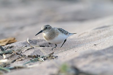 Juvenile Baird's Sandpiper on Park Point [August; Duluth, Minnesota]