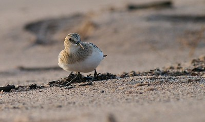Juvenile Baird's Sandpiper on Park Point [August; Duluth, Minnesota]