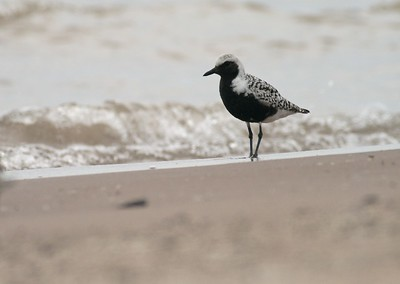Handsome travelers; Black-bellied Plovers pass through Minnesota in May [May; Park Point, Duluth, Minnesota]