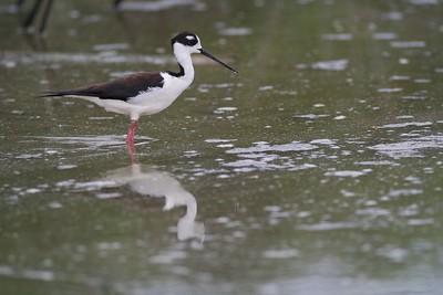 Black-necked Stilt [April; Krenmueller Farms, Lower Rio Grande Valley, Texas]