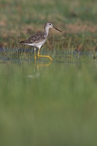 Greater Yellowlegs are bulkier than their more delicate cousins, the Lesser Yellowlegs. Also note that their bill is longer than their head [April; Sick Dog Ranch near Alice, Texas]