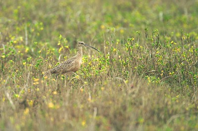 Aptly named, the Long-billed Curlew is found in shorter grass prairies [February; Laguna Atascosa NWR, Texas]