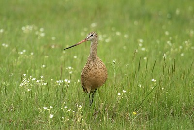 Marbled Godwits love wet, tall grass prairie [June; Felton Prairie, Clay County, Minnesota]