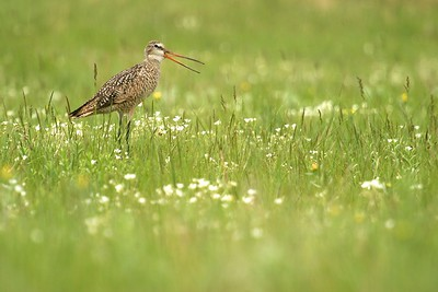 Marbled Godwits love wet, tall grass prairie [June; Felton Prairie, Clay County, Minnesota]