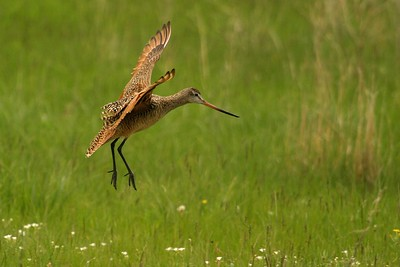When Marbled Godwits land, they take a moment and slowly fold their wings to their side [June; Felton Prairie, Clay County, Minnesota]