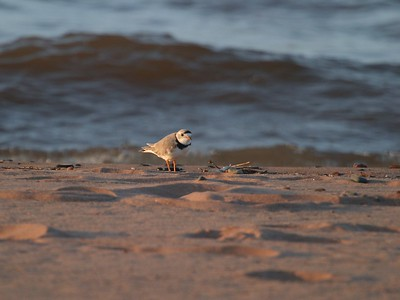 Piping Plovers are a rare treat on Lake Superior beaches these days [May; Park Point, Duluth, Minnesota]