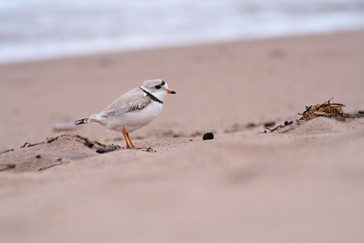 Piping Plover migrating (Great Lakes population) [May; Park Point Duluth, Minnesota]
