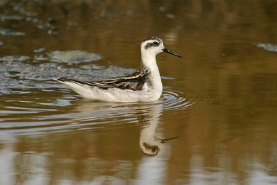 Where's the red neck? Winter-plumaged Red-necked Phalaropes are basically brown and white [August; California]