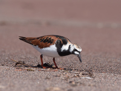 Ruddy Turnstone Wisconsin Point Lake Superior Superior WI  P1066377