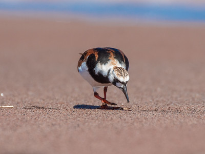 Ruddy Turnstone Wisconsin Point Lake Superior Superior WI  P1066427