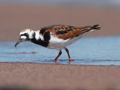 Ruddy Turnstone Wisconsin Point Lake Superior Superior WI  P1066429