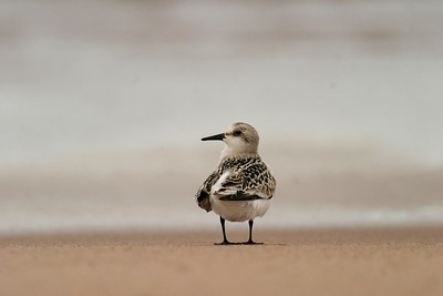 Sanderling [September; Park Point, Duluth, Minnesota]