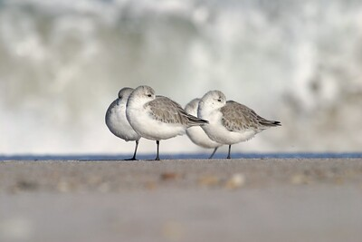 Crashing surf is no threat or menace to the quick Sanderling. Flocks race down to the receding surf to feed before it crashes back up the beach [December; Sanibel Island, Florida]
