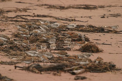 Sanderlings pick along beach refuse for a meal [May; Wisconsin Point, Superior, Wisconsin]