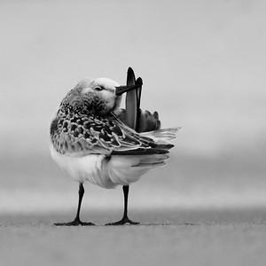 Sanderling [September; Park Point, Duluth, Minnesota]