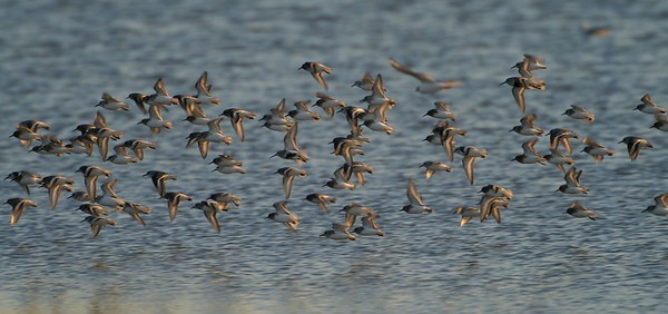 Sanderlings often migrate through the middle of the continent in fairly large flocks [May; Lake Superior, Park Point, Duluth, Minnesota]