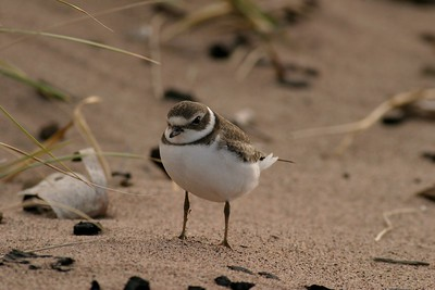 Semipalmated Plover in basic plumage [September; Park Point, Duluth, Minnesota]