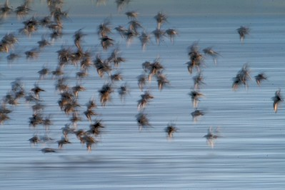 Shorebirds often travel in large flocks  for protection from aerial predators (mostly Sanderlings here); Better odds of your neighbor being picked off! [May; Park Point, Duluth, Minnesota]