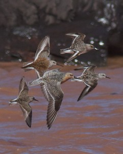 Shorebirds mixed flock Wisconsin Point Superior WI IMG_1343