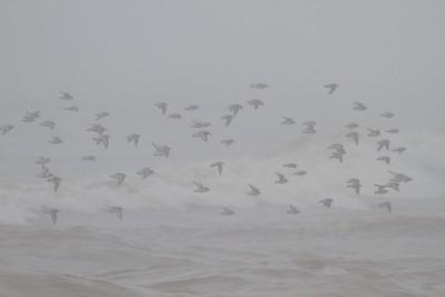 shorebird flock Park Point Duluth MN IMG_3266