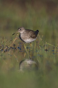 Solitary Sandpipers nest in the boreal forests of Canada; this one was still in South Texas but on its way north [April; Sick Dog Ranch near Alice, Texas]