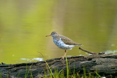 Aptly named, the Spotted Sandpiper has bold breast spots and bobs its hind end as it walks [May; Mississippi River, Aitkin County, Minnesota]