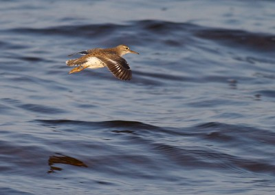 On flying Spotted Sandpipers look for the wing stripe and very stiff, shallow wingbeats that help identify this species [July; Park Point, Duluth, Minnesota]