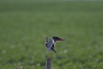 Upland Sandpiper on fence post Kidder Co ND IMG_1490
