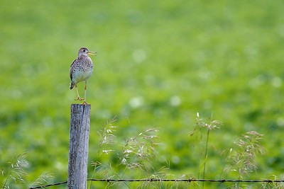 Upland Sandpiper on fence post Kidder Co ND IMG_1496