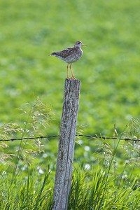 Upland Sandpiper on fence post Kidder Co ND IMG_1428