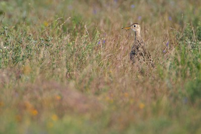Upland Sandpipers nest on grassland sites; Often areas of rolling hills [April; Sick Dog Ranch near Alice, Texas]