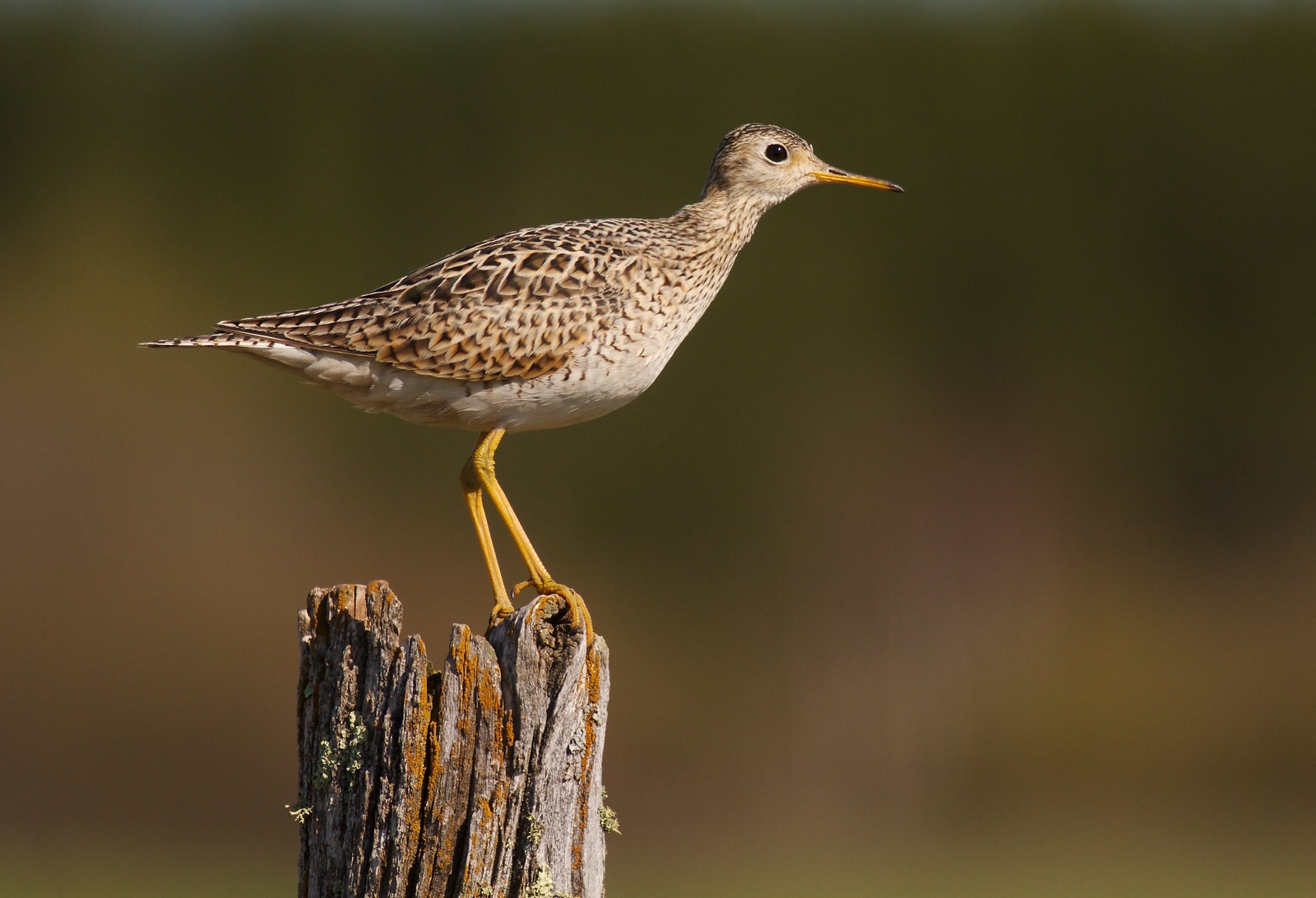 Upland Sandpipers are declining due to habitat loss. Their preferred breeding sites are sloping, hilly grasslands, but they will feed in flat soy bean fields as well [May 16; CR102 southeast of Wrenshall, Minnesota, Carlton County]