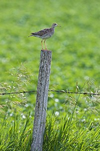 Upland Sandpiper on fence post Kidder Co ND IMG_1434